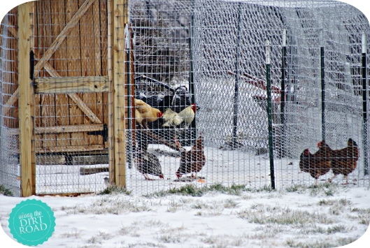 Our chickens are brave.  A little weather doesn't phase them.  (Can you see Mr. Henry's crazy-long tail feather?)